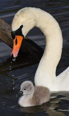 Mother swan with her baby by Turhan Topacogullari Beautiful Swan, Beautiful Birds, Animals Beautiful, Swan Pictures, Animal Pictures, Mother And Baby Animals, Animals And Pets, Cute Animals, Swan Painting