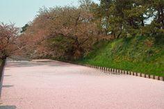 弘前城公園の花筏(Floral raft of  japanese cherry blossom tree)