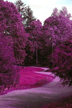 Forest of Purple Flowers - If this is real it would be my happy place.