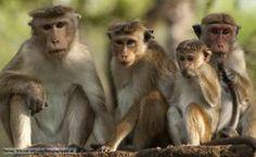 Dry Zone Toque Macaque (Macaca Sinica Sinica) group portrait