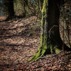 Mosbegroet træ i Møllegårdsskoven #visitfyn #visitdenmark #fyn #nature #nature_perfection #naturelovers #mothernature #natur #loves_skyandsunset #loveit #denmark #danmark #dänemark #landscape #assensnatur #mitassens #vildmedfyn #fynerfin #vielskernaturen #visitassens #instapic #picoftheday #spring #aarupnatur #assens #wood #tree