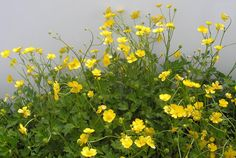 Ranunculus repens - Creeping buttercup, very common, and the one that can be a nuisance weed (but so pretty)