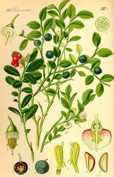 Čučoriedka obyčajná (brusnica čučoriedková), Vaccinium myrtillus L, Brusnice borůvka Blueberry, Bilberry, Whortleberry, European blueberry