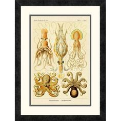 "Global Gallery 'Haeckel Nature Illustrations: Cephlopods' by Ernst Haeckel Framed Vintage Advertisement Size: 24"" H x 18"" W x 1.5"" D"