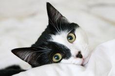 本日の美人猫vol.96 « 猫ジャーナル