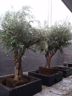 Olive Tree Specialist supplies regional Pyrenean olive trees, hardy olive trees and bonsai.
