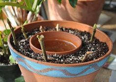 Brilliant way to root cuttings!  This is in antique gardening books - love it when old ideas become new again.