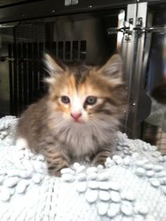 Petango.com – Meet 24406843, a 1 month 21 days Domestic Medium Hair / Mix available for adoption in TAMPA, FL