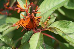 Gulf fritillary & firebush, Florida Permaculture Garden Permaculture Garden, Gardening, Butterfly Plants, Garden Design, Modern Design, Florida, Animals, Animales, Animaux