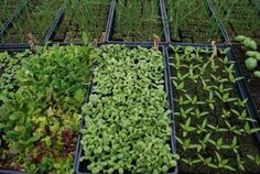 Herb Growing In Greenhouses: How To Grow Greenhouse Herbs
