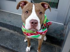 RAVIOLI - A1059104 - - Manhattan  TO BE DESTROYED 12/09/15 A volunteer writes: Yes, it was Italian food theme day when Ravioli joined us! Found tethered to a pole and brought to a local police precinct, both her finder and the police tell us how friendly and mellow Ravioli is. She was so mellow during intake that she wagged her tail and stood next to staff during the entire process. A bit shy at first, she got over it quickly and then showed off lovely leash manners as we w
