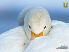 Coisas de Terê -  Cisne Branco - National Geographic.