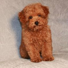 Most people say the idea of the teddy bear haircut is that it keeps the poodle looking like an adorable puppy with a short nose for their whole life. Description from redandapricotpoodles.blogspot.com. I searched for this on bing.com/images