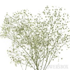 $131.75 Baby's Breath: Perfecta - 10 bunches