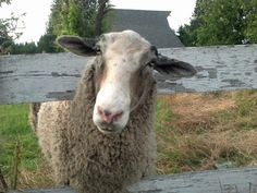 """""""Bruiser"""" because of his size, not his nature, for he is the sweetest sheep I know. He's my guy!  Finn/Gotland mix"""