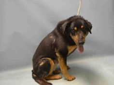 I AM SAFE THANK YOU.           SUPER URGENT 3/24/16. RAISIN – A1068158  FEMALE, BLACK / TAN, ROTTWEILER / GERM SHEPHERD, 8 yrs STRAY – STRAY WAIT, NO HOLD Reason ABANDON Intake condition EXAM REQ Intake Date 03/21/2016, From NY 11420, DueOut Date 03/24/2016,