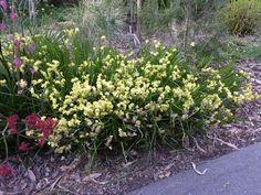 Conostylis aculeata Australian Plants, Cottage, Clay, Garden, Clays, Garten, Cottages, Lawn And Garden, Gardens