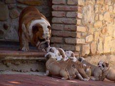 pequeño bulldog ingles