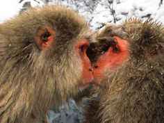 eye-to-eye, japanese macaques, honshu island, japan, by roy toft
