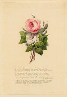 Deze ingekleurde aquatint met rozen is verschenen ter gelegenheid van het huwelijk van Willem II, Koning der Nederlanden (1792-1849) en Anna Paulowna, Koningin der Nederlanden (1795-1865) op 21 februari 1816.