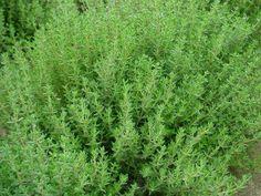 tymianek-1 Natural Remedies, Spices, Herbs, Nature, Gardening, Education, Magick, Spice, Naturaleza