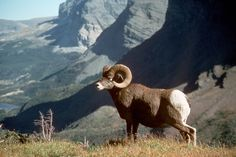 A Big horn sheep in the hills of Glacier National Park