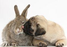 Pug & Bunny