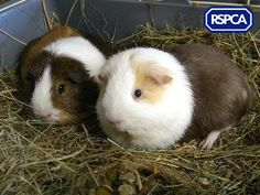 Ant and Dec, Guinea Pigs, RSPCA West Suffolk Branch Ant & Dec, Baby Guinea Pigs, Pet Search, Rodents, Sadie, Ants, Animals, Animales, Animaux