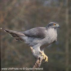 The magnificent Northern Goshawk.  #Birds #Hawks