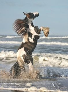 Gypsy Vanner Horse at the beach. - A Great Image