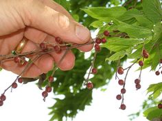 Hackberry - didn't know for sure whether humans could eat the berries, but it makes sense! I like how fast-growing they are, and the recipe for the hackberry power bar looks great. ~ET