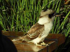 Wild Kookaburra Feeding - Moreton Island Australia Living, Australia Travel, Sand Island, Brisbane City, Marine Biology, Fluffy Animals, Zoology, Kingfisher, Beautiful Birds