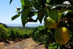 Camp #Colchagua - Lovely lemon trees
