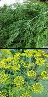 Prirodni lijek: Poznajete li ljekovita svojstva kopra