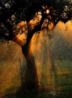 ~~irrigation ~ crepuscular rays emanate behind an olive tree, Lazise, Italy by Stefano Castoldi~~