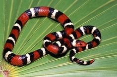 Scarlet King snake found in Florida...the snake of eternity | Just another WordPress.com weblog