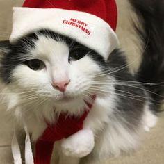 たまにはこっちにも、おなご載せよ❤︎❤︎❤︎クリスマスの日にクリスマスのかっこうしたんだけど、この呆れた表情ね😹かわいすぎるわ〜 @matsudamiku1215 もフォローしてね😽💋2017010622010 . . . #メインクーン#ラグドール#ミックス猫#ハーフ#ミックス#ハチワレ猫#白黒ハチワレ  #猫と私#ねこのきもち#生き物にサンキュー#白黒猫  #美猫#美人#可愛い#親バカ#娘ちゃん#猫顔#女の子#アムラー#おめめ#切れ長#セクシー#可愛すぎる #クリスマス#マフラー#ねこちゃん#愛猫#おなご#呆れ顔#フォローしてね