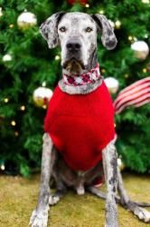 Belvedere is an adoptable Great Dane Dog in Huntersville, NC. We rescued this beautiful old man out of a shelter in Georgia.  He may be almost 10 years old, but this guy has plenty of spunk and lots o...