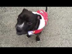 IN LOVING MEMORY OF WONDERFUL LITTLE MARCH WHO WAS  COMPLETELY HEARTLESSLY AND UNBELIEVABLY  MURDERED 2/1/17 I'M SPEECHLESS AND HEARTBROKEN /ij Brooklyn Center  My name is MARCH. My Animal ID # is A1101742. I am a male br brindle and white pit bull mix. The shelter thinks I am about 5 YEARS old.  I came in the shelter as a STRAY on 01/18/2017 from NY 11207, owner surrender reason stated was STRAY.  http://nycdogs.urgentpodr.org/march-a1101742/