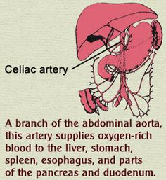 Labeled Celiac Artery Diagram and Function                                                                                                                                                      More