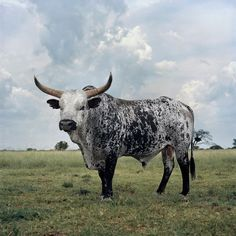 The Nguni, the original cattle breed of Africa. Previously listed as cow, but I think we can all see how wrong that is. lol