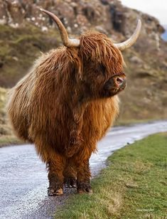 Highland Cow, Isle of Mull, Scotland. Just a completely random side note, this is the kind of cow they have in Skyrim. Scottish Highland Cow, Highland Cattle, Scottish Highlands, Farm Animals, Animals And Pets, Cute Animals, Wild Animals, Nature Animals, Animals Planet