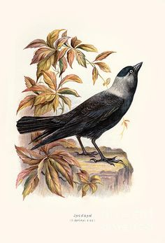 Jackdaw, Rooster, Restoration, Animals, Vintage, Animales, Animaux, Animal, Vintage Comics