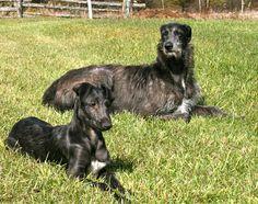 sottish deerhound phot | Resting Scottish Deerhound dogs photo and wallpaper. Beautiful Resting ...