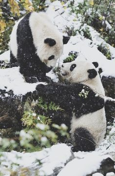 """pandas in snow. """"Dobie I'm sorry what I said about your singing. Wait! Don't leave me behind!!!! I'm gonna diiiieeeeeeee!!!!!! Fine. Yes. You're very cute too. Oh screw it. This takes too much effort. I'll just be over here pinning. What? Food?"""""""