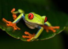 POHLEDNICE LISTOVNICE (ONDŘEJ PROSICKÝ) postcard Frogs, Animals, Animales, Animaux, Animal, Animais