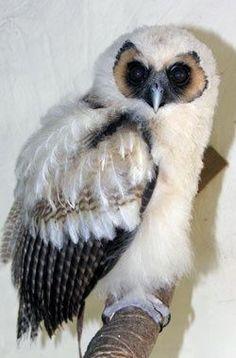 }{     Wood Owl