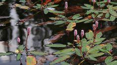 Vesitatar--polygonum amphibium. Kuva: Risto Salovaara/Yle