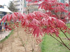 Located Near Hampton Inn Washington DC Convention Center, Acer palmatum, commonly known as red emperor maple, palmate maple, Berry Plants, Red Plants, Foliage Plants, Garden Trees, Trees To Plant, Garden Plants, Christmas Tree Pictures, Pine Cone Christmas Tree, Chinese Maple Tree