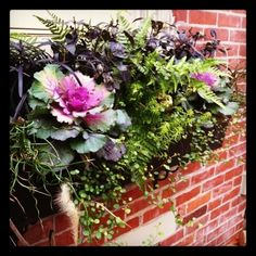Beautiful fall windowbox featuring black mondo grass and ornamental cabbage, along with ferns, corkscrew rush and trailing plants. inspiring-landscapes